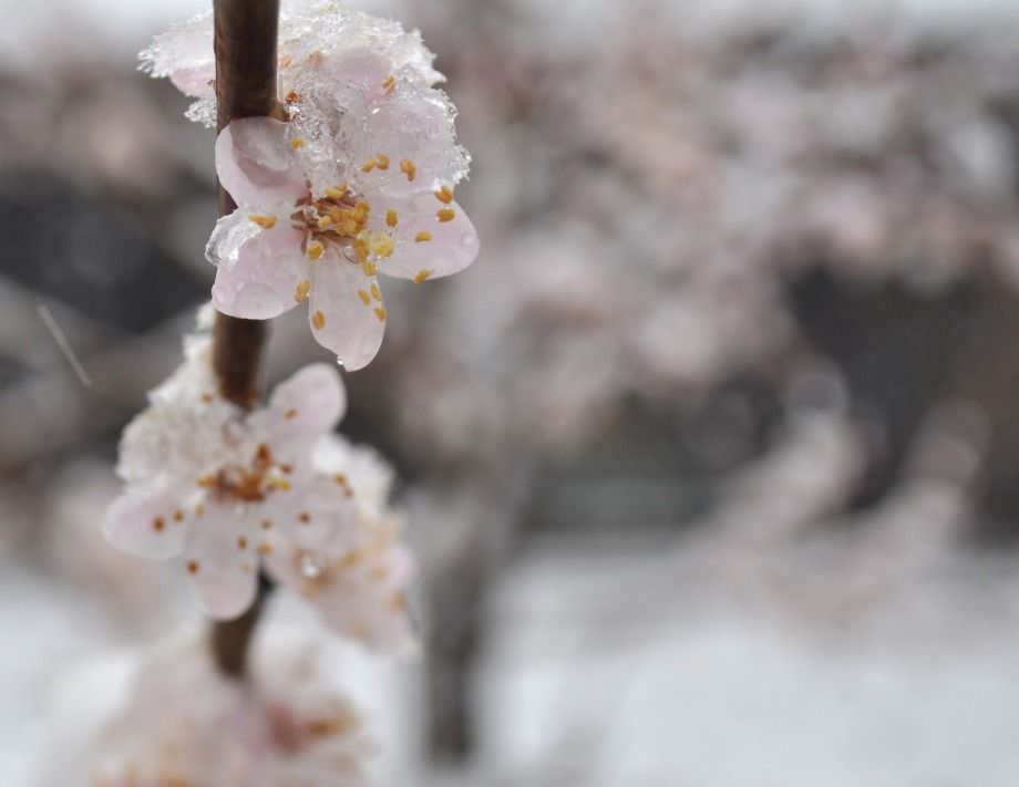 flowers-in-the-snow